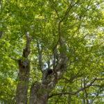 観音沼のぶなの木