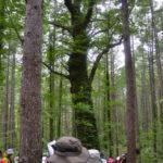 四本木坂のナラの木
